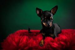 Terrier de juguete hermoso Fotos de archivo libres de regalías