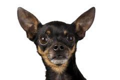 Terrier de juguete mini Imagen de archivo