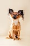 Terrier de juguete ruso de los perritos Imagenes de archivo
