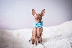Terrier de juguete ruso en una tela escocesa blanca en gotas azules fotos de archivo libres de regalías
