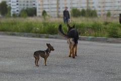 Terrier de juguete ruso y un perro del Alsatian del perrito Imagenes de archivo