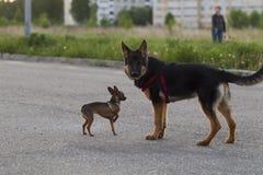 Terrier de juguete ruso y un perro del Alsatian del perrito Imágenes de archivo libres de regalías