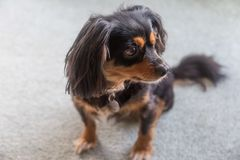 Terrier de la cruz del perro de aguas de rey Charles Cavalier que se sienta foto de archivo