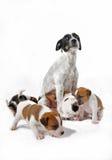 Terrier de la madre y de Russel del gato de los perritos imagenes de archivo