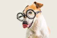 Terrier de lambedura adorável de Jack Russell do cão nos vidros Fundo cinzento Engane ao redor Imagem de Stock Royalty Free