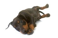 Terrier de Manchester del perrito Imágenes de archivo libres de regalías
