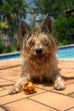 Terrier de mojón Imagenes de archivo