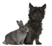 Terrier de mojón, 4 años, y un conejo Foto de archivo libre de regalías