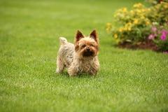 Terrier de mojón en la hierba Imagen de archivo libre de regalías
