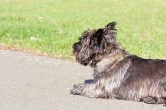 Terrier de mojón que se acuesta en parque Imagen de archivo