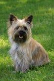 Terrier de mojón que se sienta en hierba Fotos de archivo libres de regalías