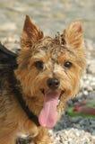 Terrier de Norfolk fotos de stock