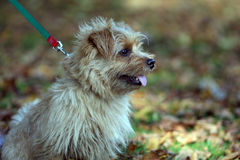 Terrier de Norfolk Foto de Stock Royalty Free