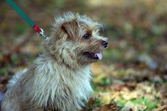 Terrier de Norfolk Foto de archivo libre de regalías