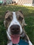 Terrier de pitbull azul de la nariz Fotos de archivo libres de regalías