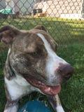 Terrier de pitbull bleu de nez Image stock