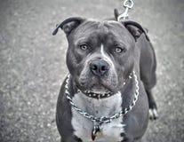 Terrier de pitbull cinzento com colar chain fotografia de stock royalty free