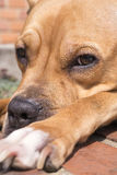 Terrier de pitbull joven Fotos de archivo
