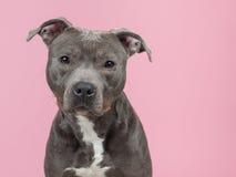 Terrier de Pitbull no rosa Fotos de Stock Royalty Free