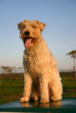 Terrier de raposa de assento Fotografia de Stock Royalty Free