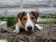 Terrier de raposa liso Fotos de Stock Royalty Free