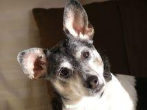 Terrier de rata Foto de archivo libre de regalías