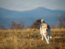 Terrier de renard courant image stock