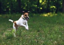 Terrier de renard de chien pour une promenade, sur le mouvement Images libres de droits