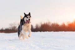 Terrier de Russel de chien de traîneau sibérien et de cric photographie stock libre de droits