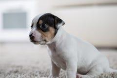 Terrier de Russel de cric de ‹d'†de ‹d'†de chiot Photographie stock libre de droits