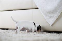 Terrier de Russel de cric de ‹d'†de ‹d'†de chiot photos stock