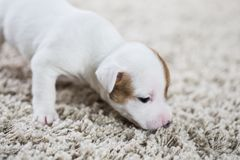 Terrier de Russel de cric de ‹d'†de ‹d'†de chiot Photo libre de droits