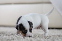 Terrier de Russel de cric de ‹d'†de ‹d'†de chiot Photo stock