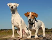 Terrier de Russel de dois jaques Fotografia de Stock