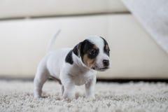 Terrier de Russel del enchufe del ‹del †del ‹del †del perro de perrito Foto de archivo