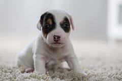 Terrier de Russel del enchufe del ‹del †del ‹del †del perro de perrito Imágenes de archivo libres de regalías