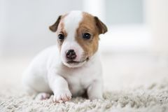 Terrier de Russel del enchufe del ‹del †del ‹del †del perro de perrito Imagen de archivo