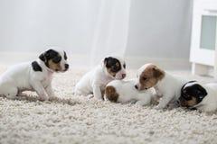 Terrier de Russel del enchufe del ‹del †del ‹del †del perro de perrito Imagen de archivo libre de regalías