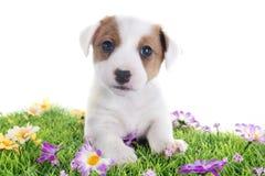 Terrier de Russel del enchufe del perrito imagen de archivo libre de regalías