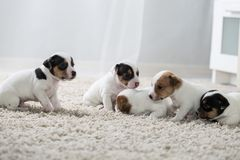 Terrier de Russel do jaque do ‹do †do ‹do †do cão de cachorrinho Imagem de Stock Royalty Free