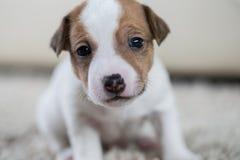 Terrier de Russel do jaque do ‹do †do ‹do †do cão de cachorrinho Foto de Stock