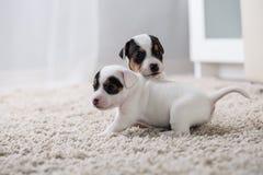 Terrier de Russel do jaque do ‹do †do ‹do †do cão de cachorrinho Fotografia de Stock Royalty Free