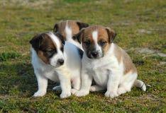 Terrier de Russel do jaque de três filhotes de cachorro imagens de stock