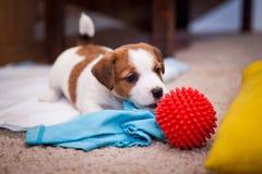 Terrier de russell del gato del perrito imágenes de archivo libres de regalías