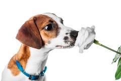 Terrier de russell del gato del perrito fotografía de archivo