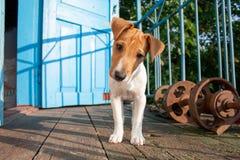 Terrier de russell del gato del perrito Foto de archivo