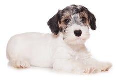 Terrier de Sealyham Fotografía de archivo