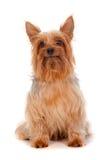 Terrier de seda Foto de Stock