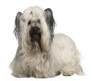 Terrier de Skye, 3 e uma metade dos anos velhos Fotos de Stock Royalty Free