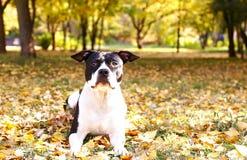 Terrier de Staffordshire américain ayant l'amusement dans Central Park le bel après-midi de temps de chute photo libre de droits